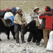 Loading yaks to go to intermediate camp