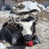 Yak takes a rest