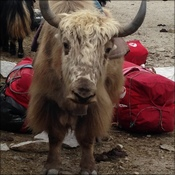 A yak free of our kit bags in Gorak Shep
